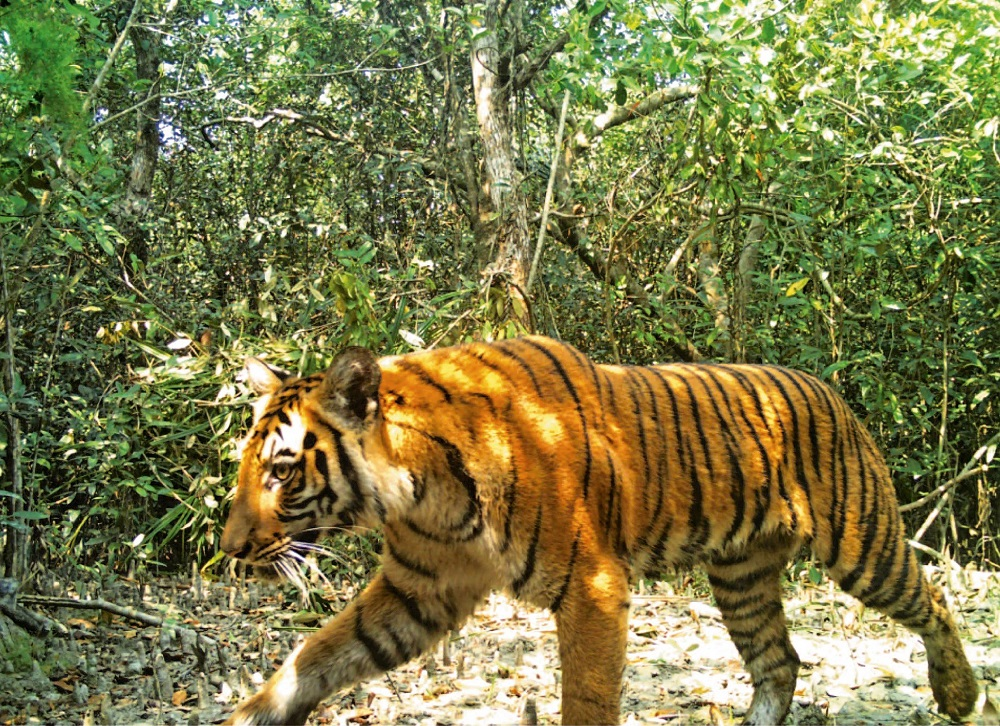 This handout photo taken on April 11, 2018 and released by the Bangladesh Forest Department shows a Bengal tiger walking through the forest in Sarankhola, in the southwestern Bagerhat district. — Bangladesh Forest Department/AFP pic