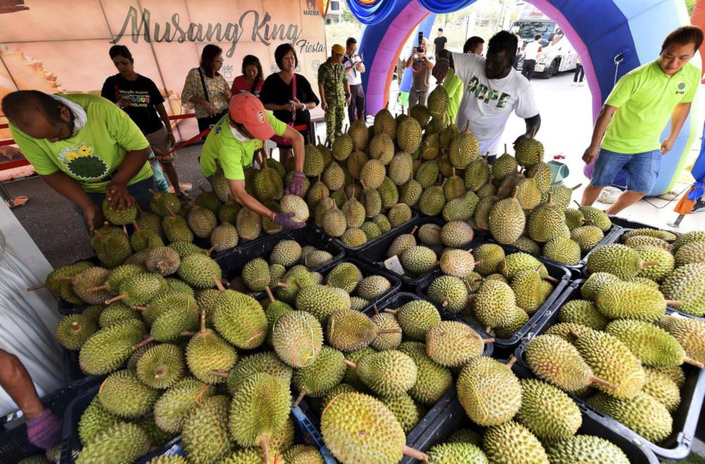 Workers sorting out durian to be given out for free in conjunction with the Musang King fiesta organised by Matrix Concepts at Matrix Galleria Ara Sendayan in Seremban July 13, 2019. — Bernama pic