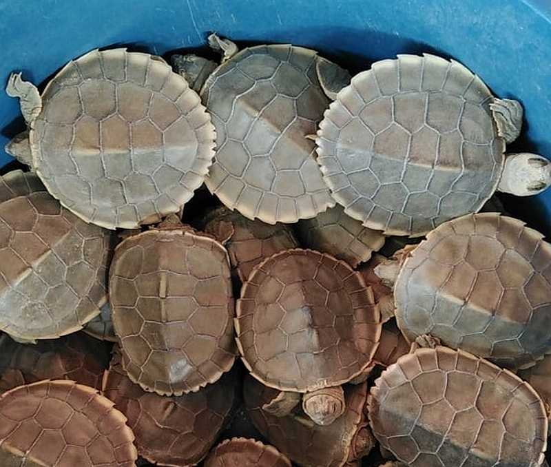 With an annual cost of RM20,000 to run its conservation project for river terrapins, the Turtle Conservation Society of Malaysia (TCS) faces an uphill task to get the funds. — Picture courtesy of Turtle Conservation Society of Malaysia