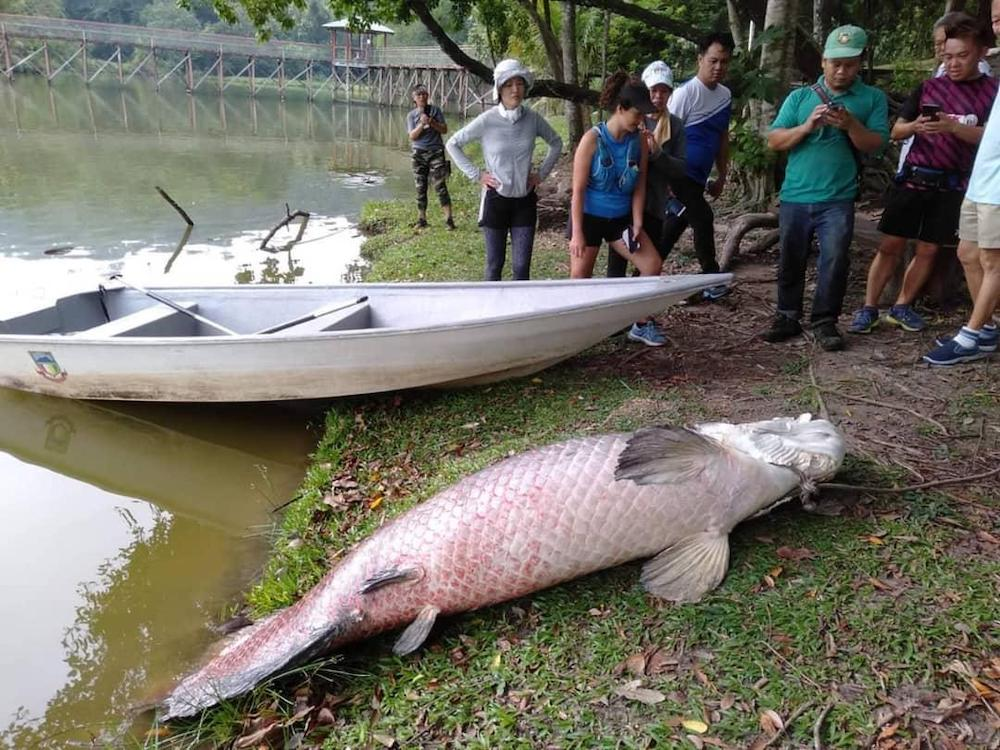 The seven-foot long dead arapaima that surfaced at the Tun Fuad Stephens Park lake.