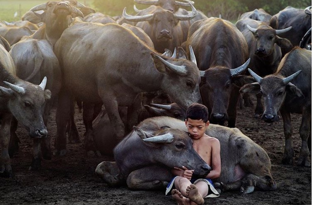 Fourteen-year-old Muhammad Syukur Khamis' bond with his father's buffaloes has garnered love from many social media users. — Picture via Instagram/natgeoyourshot