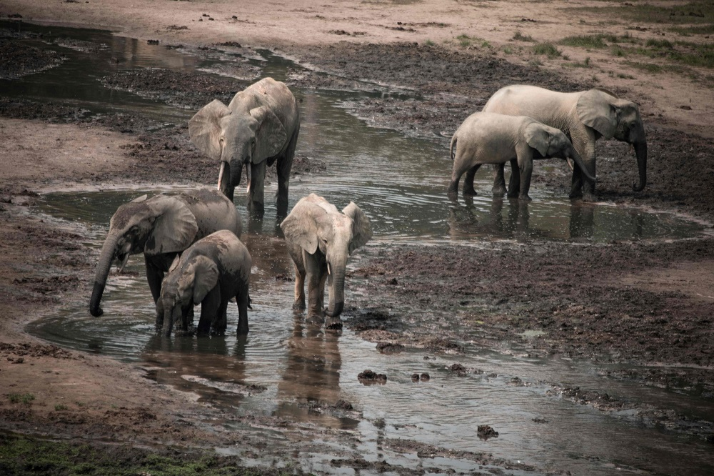 In this photograph taken on April 11, 2019, a group of forest elephants play in the salt marshes of the Dzanga-Sangha Reserve, the last refuge of forest elephants and Central African gorillas, in south-western Central African Republic. — AFP pic