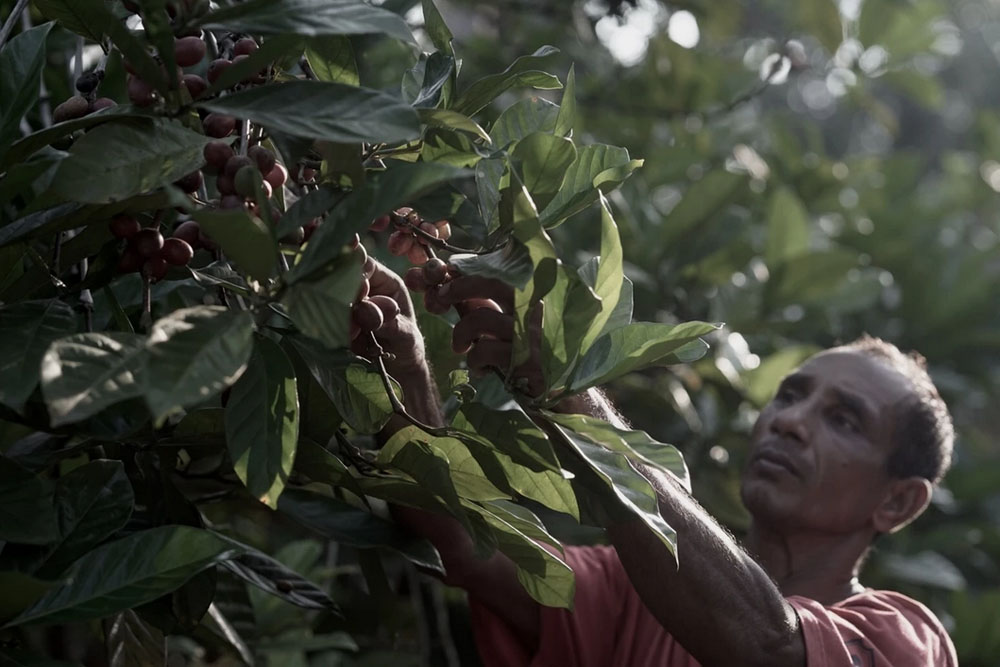 Picking Liberica coffee cherries by hand. — Picture courtesy of House of Kendal