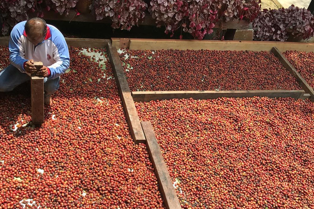 Preparing Liberica coffee cherries for processing. — Picture courtesy of House of Kendal