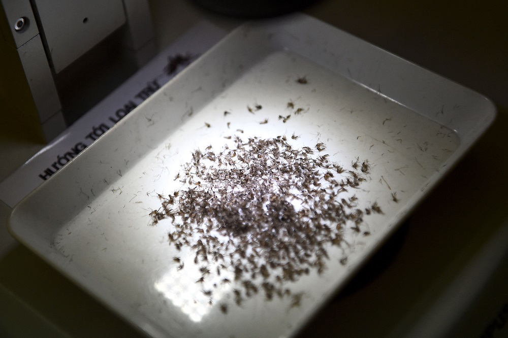 This photo taken on August 21, 2019 shows a tray with mosquito samples at the Pasteur Institute in the southern Vietnamese city of Nha Trang. — AFP pic
