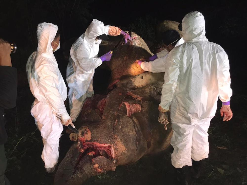 Veterinarians and officers from the Sabah Wildlife Department conduct a post-mortem on the dead elephant. — Picture courtesy of Sabah Wildlife Department