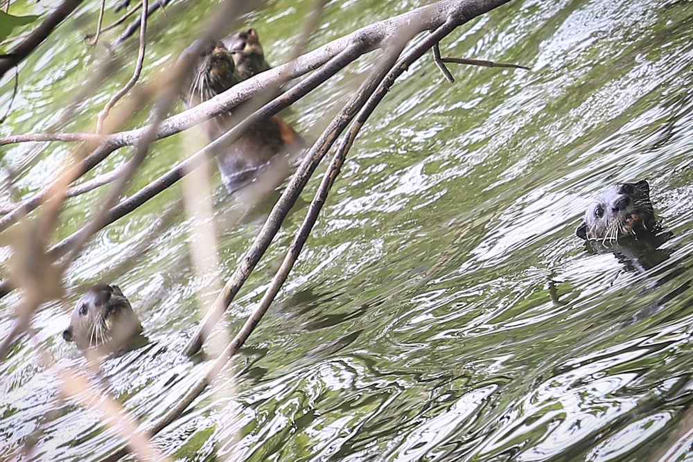 A group of otters is spotted in a lake at Taman Tasik Metropolitan Kepong. — Picture by Hari Anggara