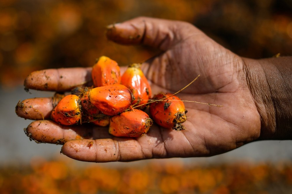 A worker shows palm oil fruits at a factory in Sepang November 20, 2014. Malaysia is currently playing catch up and preliminary data showed that exports from Indonesia to Africa saw a sharp decline recently. — AFP pic