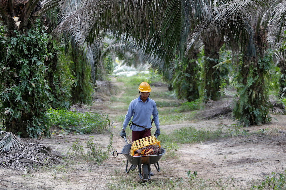 A worker collects palm oil fruits at a plantation in Bahau, Negri Sembilan January 30, 2019. — Reuters pic