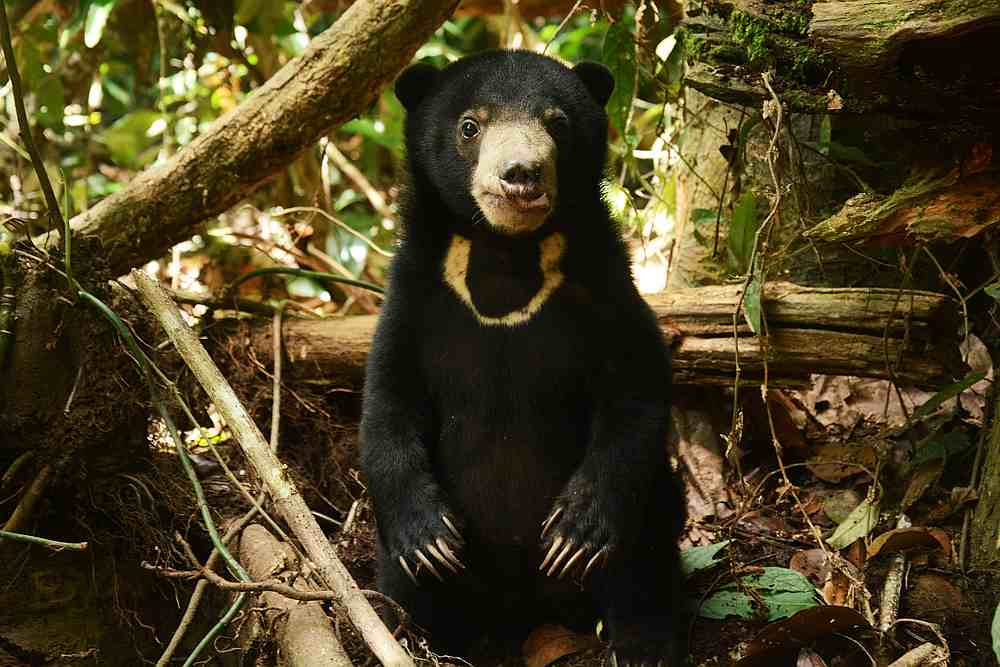 The Malayan sun bear loves honey and has a shy personality. — Picture courtesy of Bornean Sun Bear Conservation Centre/Chiew Lin May