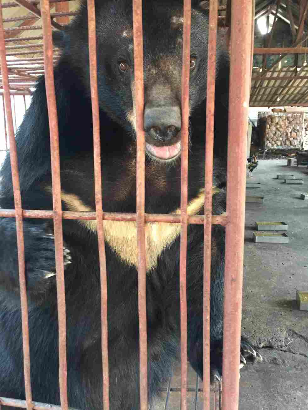 Many traditional Chinese medical shop owners still sell bear bile and raw gallbladders. — Picture courtesy of TRAFFIC/Lalita Gomez