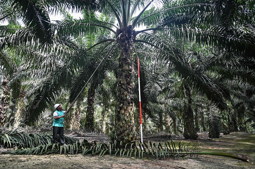 A worker trims leaves on a newly created dwarf palm oil tree at the Malaysian Palm Oil Board (MPOB) research station in Bukit Lawiang, Johor February 13, 2019. — AFP pic