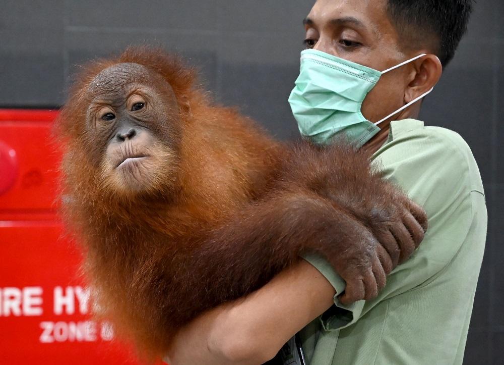 A keeper holds orangutan Bon Bon at the Ngurah Rai International Airport near Denpasar on the Indonesian resort island of Bali on December 16, 2019. — AFP pic