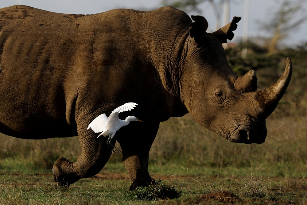 Namibia has the second largest population of white rhinos in the world after South Africa and, according to NGO Save the Rhino, it holds one-third of the world's remaining black rhinos. — Reuters pic