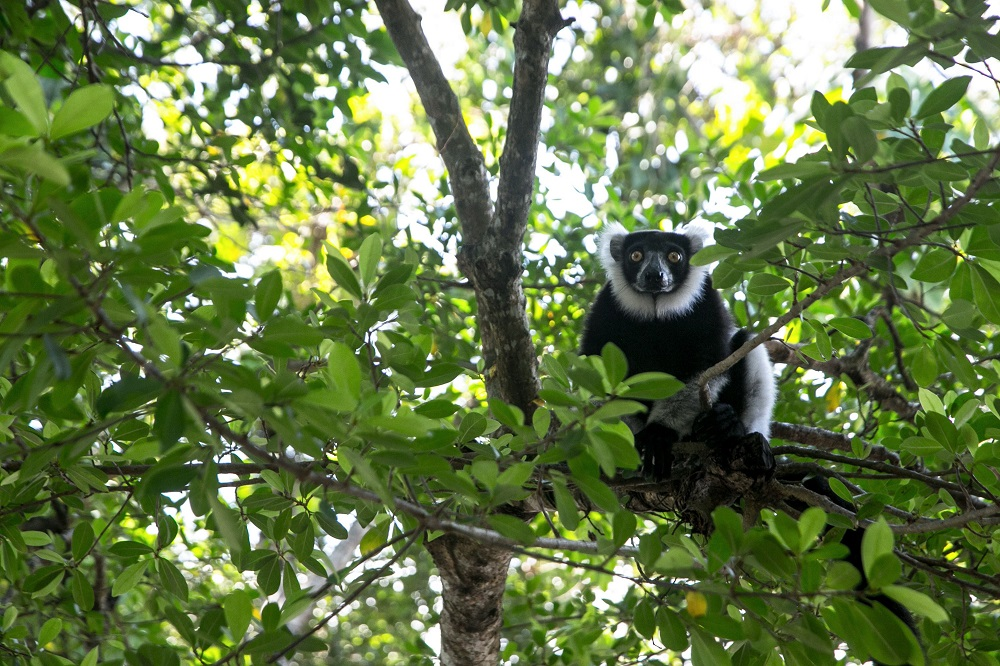 A Lemur Vari sits on a branch near the Vohibola forest, Madagascar March 23, 2019. — AFP pic