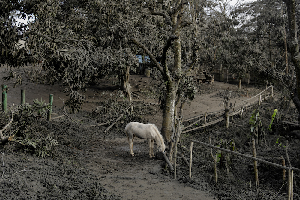 A horse rented out for tourists is left in a park filled with volcanic ash and fallen branches in Tagaytay City, Philippines, January 14, 2020. — Reuters pic