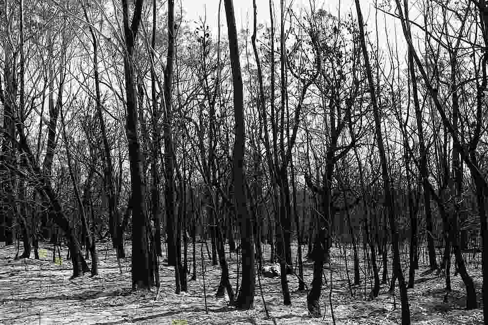 Charred trees are pictured in a patch of forest burnt during the recent bushfires near Batemans Bay, New South Wales, Australia January 22, 2020. — Reuters pic