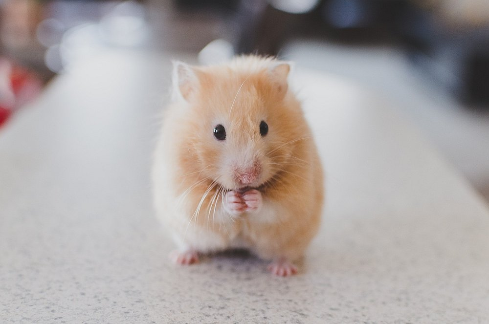 The tiny critters are experiencing a surge in popularity as the Year of the Rat draws closer. — Pixabay pic
