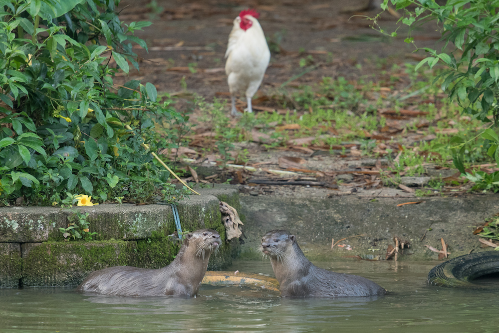 The pair of otters that were spotted at Perdana Botanical Garden in Kuala Lumpur recently. — Picture by Shariff Mohamad