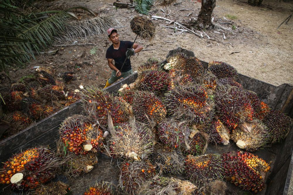 A worker collects palm oil fruits at a plantation in Kuala Selangor January 2, 2020. — Picture by Yusof Mat Isa