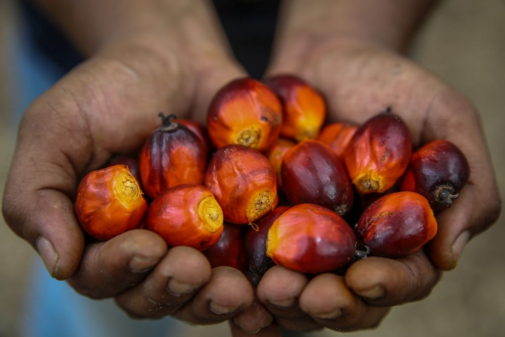 The three main exports of Malaysian palm oil products to Singapore are made up of palm oil (361,898 tonnes), olechemical (150,625 tonnes), finished palm oil products (136,488 tonnes), and other palm oil products. — Picture by Yusof Mat Isa
