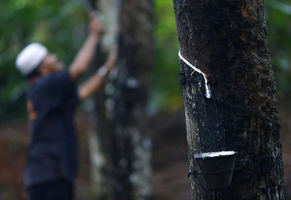 File picture shows latex from a rubber tree being collected in a cup at a plantation at Hulu Rening in the district of Batangkali, outside Kuala Lumpur May 26, 2014. — Reuters pic