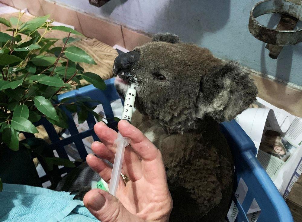 A burnt koala named Anwen, rescued from Lake Innes Nature Reserve, receives formula at the Port Macquarie Koala Hospital ICU in Port Macquarie, Australia November 7, 2019. — Reuters pic