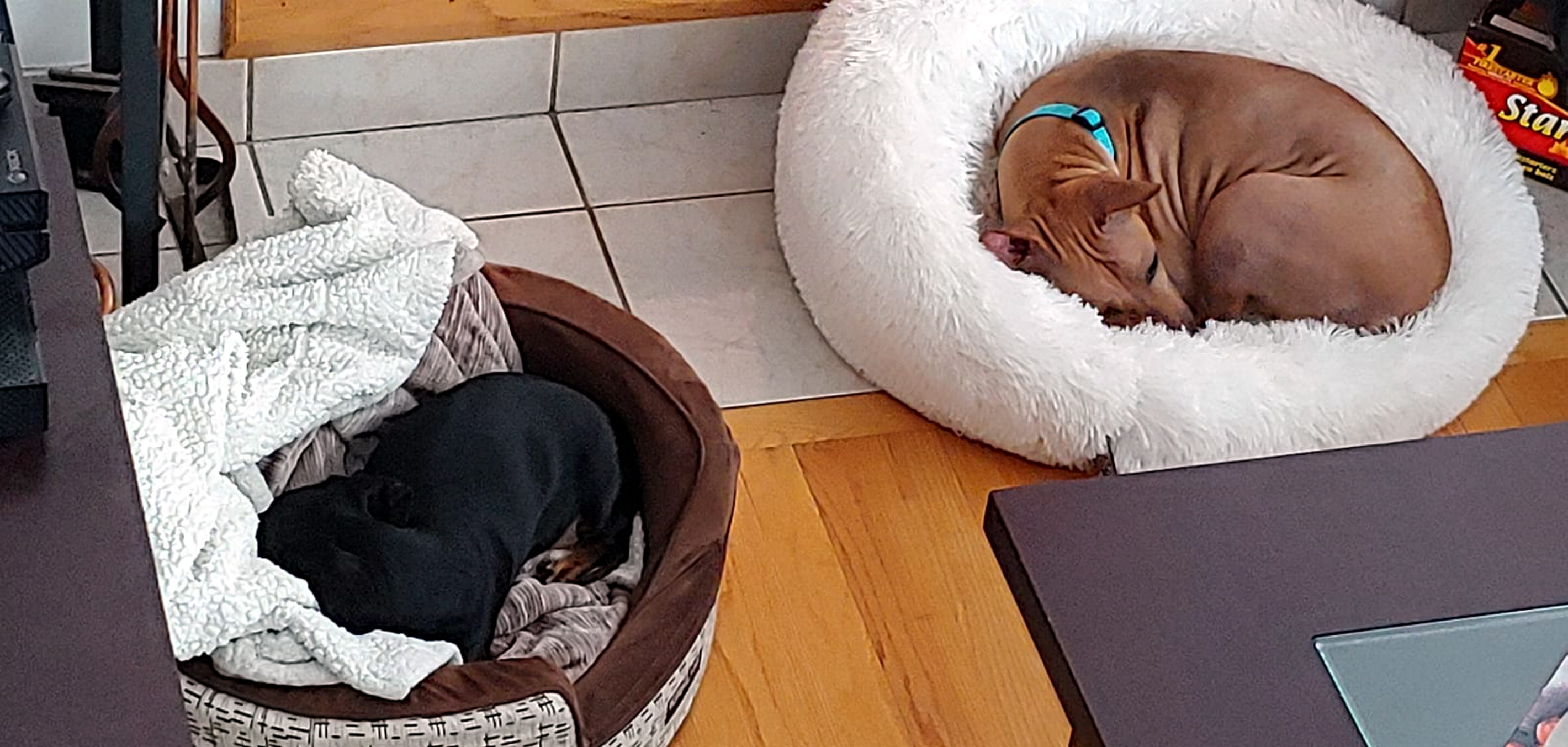 Former Kampar stray now renamed Sibelle is enjoying a comfortable bed in Quebec, Canada. She also has two paw siblings to play with. — Pix By  Iara Ramananstas