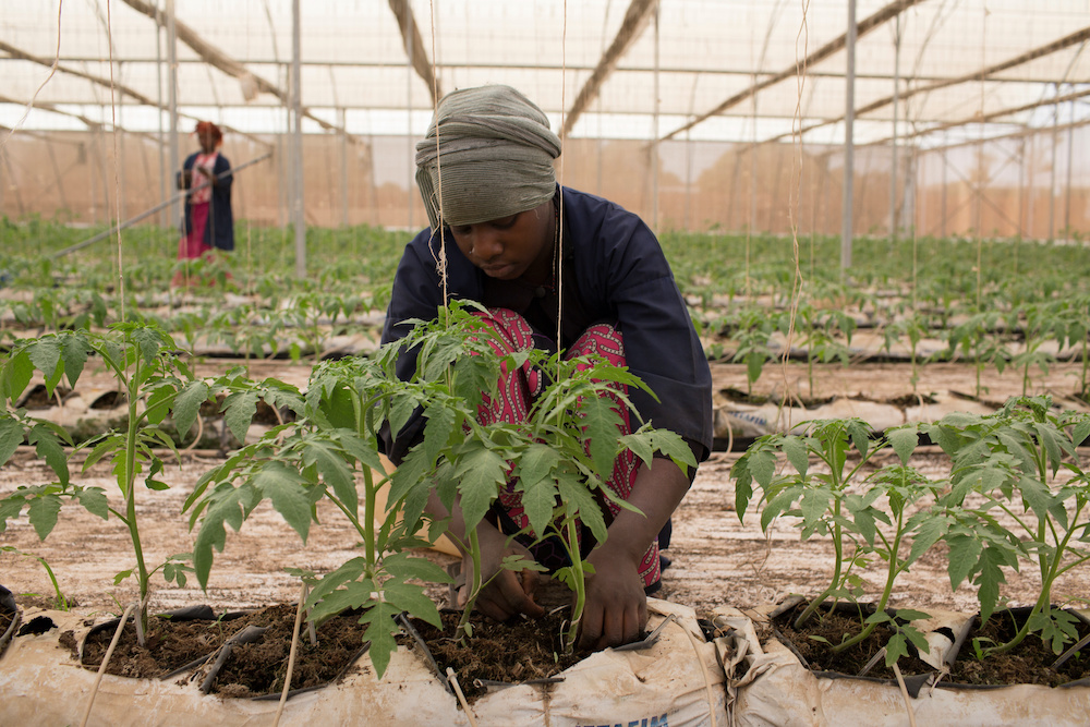 Fone Coulibaly ties up tomato plants in one of Amadou Sidibe's greenhouses in Katibougou, Mali, February 12, 2020. — Reuters pic