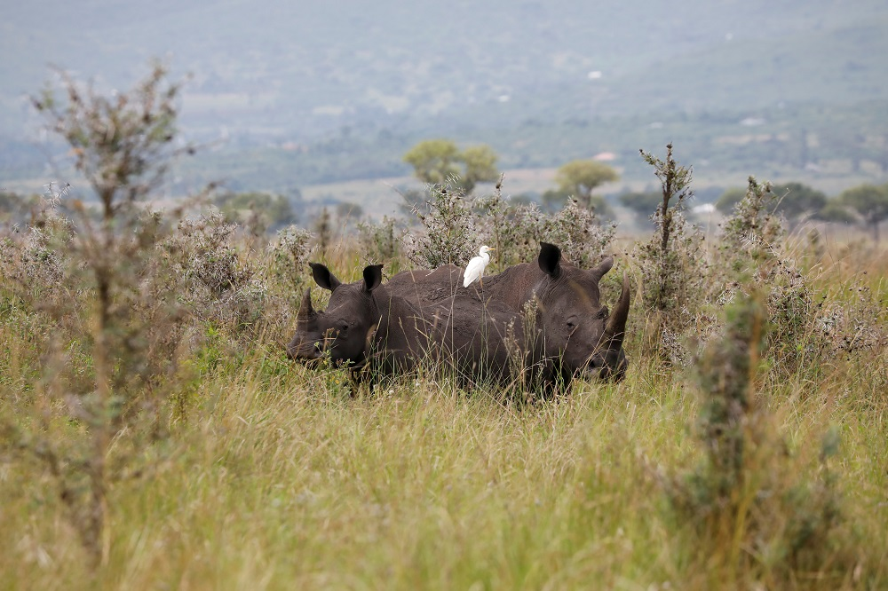 Southern white rhinos are seen at the Ruma National park, Nyanza province, western Kenya in this file picture taken on January 31, 2020. — Reuters pic