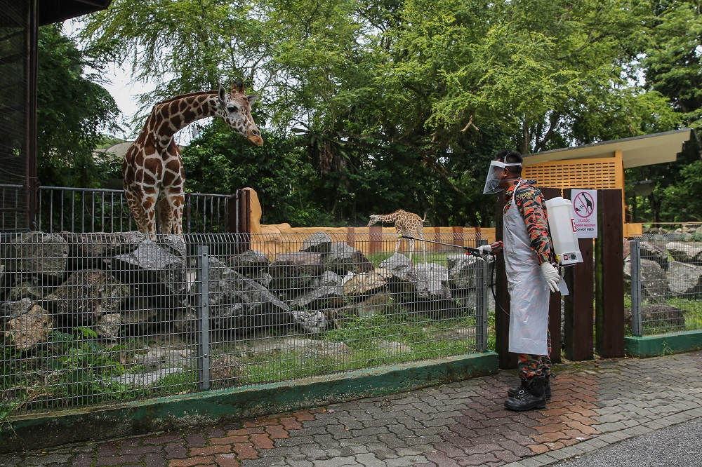 A firefighter sprays disinfectant outside the giraffe enclosure at Zoo Negara during the movement control order in Kuala Lumpur April 17, 2020. — Picture by Yusof Mat Isa
