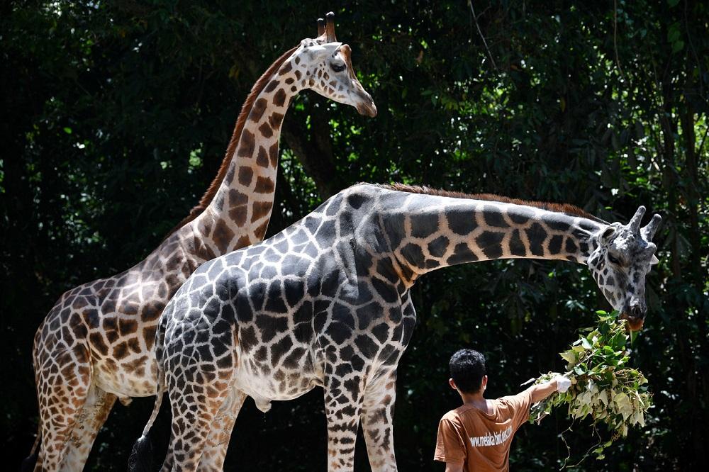 今年4月11日,国家动物园工作人员正在给长劲鹿喂食。-马新社-