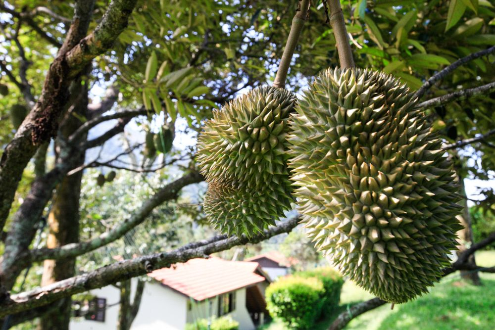Durians nearing maturity are pictured at the Karuna Hill orchard in Balik Pulau April 22, 2020. — Picture by Sayuti Zainudin