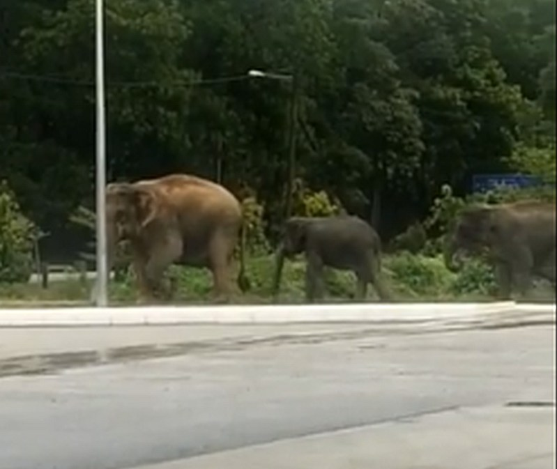 Four elephants were spotted near a petrol station in Kenyir, Terengganu. — Screenshot from Facebook/ Info Bencana Terengganu