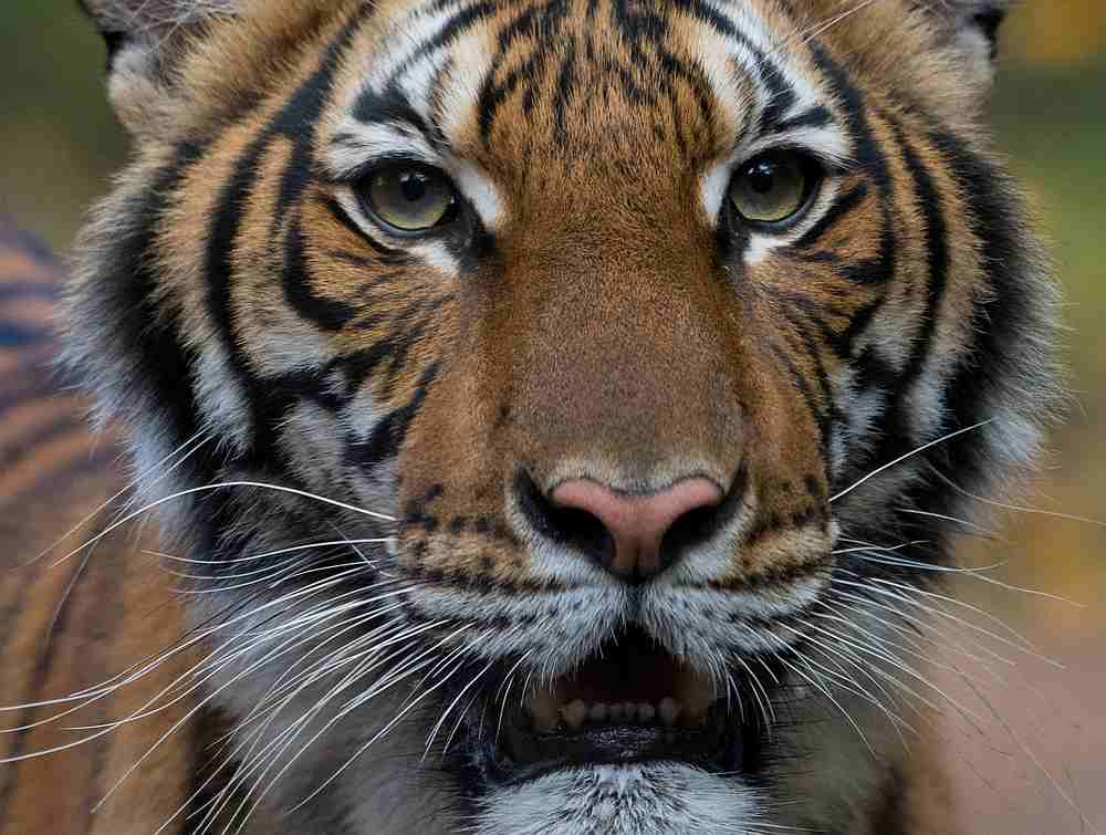 Nadia, a female Malayan tiger at the New York Bronx Zoo, has tested positive for Covid-19, seen in this undated handout photo. — WCS/Handout via Reuters pic
