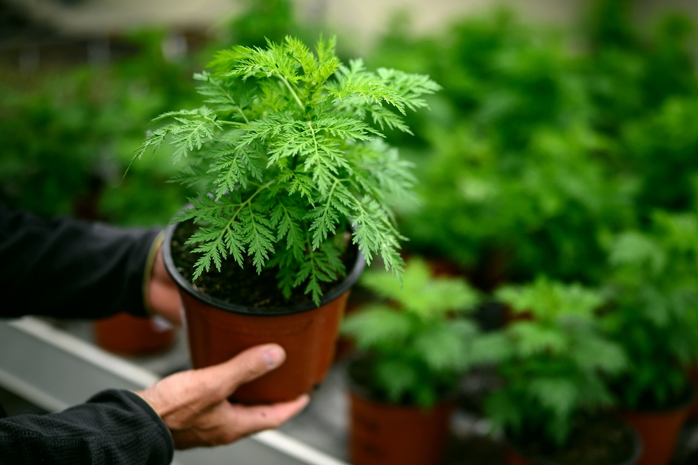 A photo taken on 21 April 2020 at the Agroscope (Federal Competence Centre for Agricultural Research) in Conthey shows young Artemisia annua plants. — AFP pic
