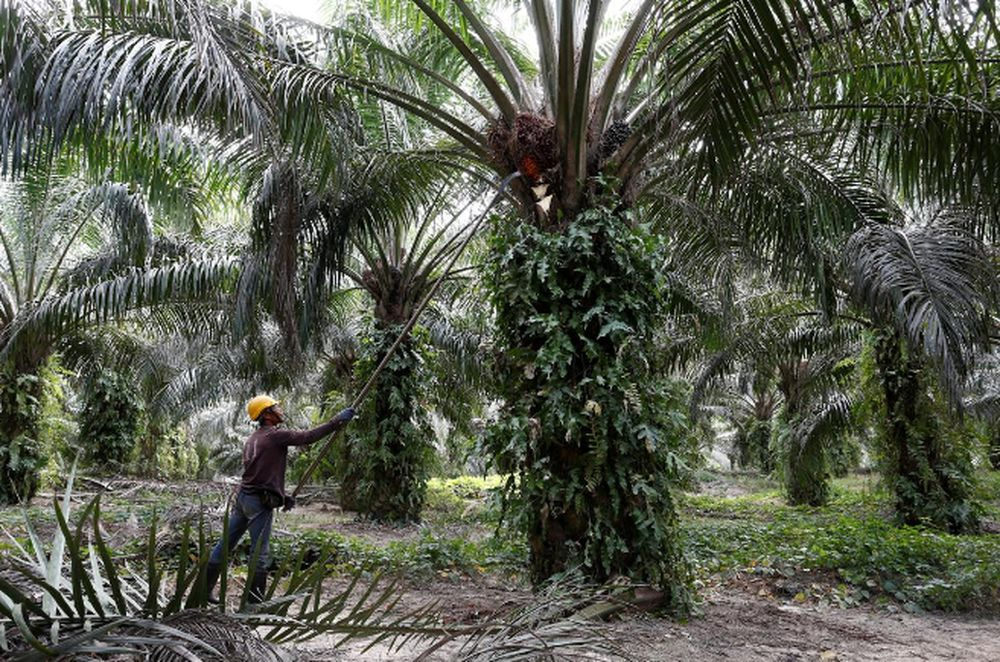 A worker collects palm oil fruits at a plantation in Bahau, Negri Sembilan, January 30, 2019. — Reuters pic