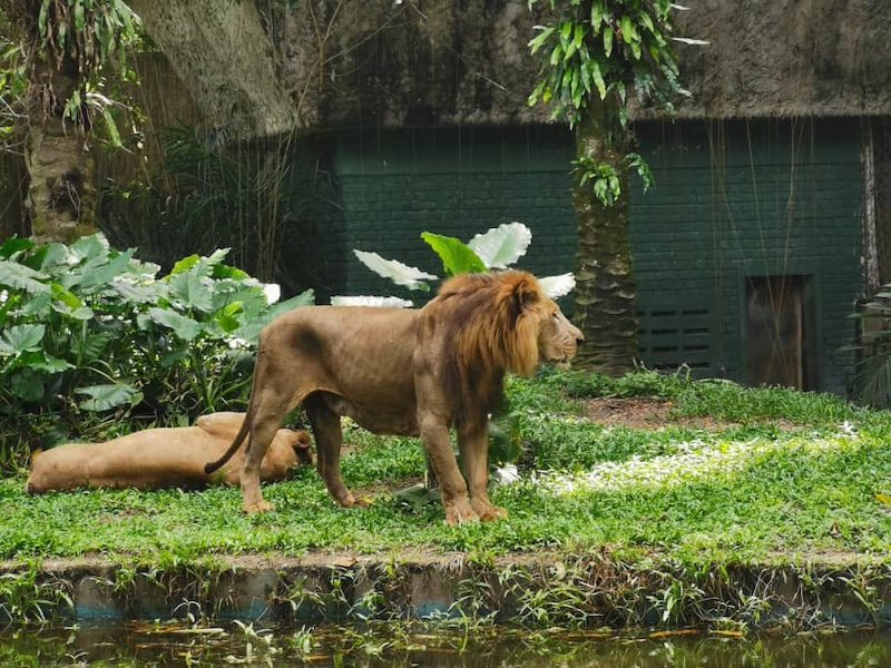 Zoo Negara management said that the lion is healthy despite its thinner appearance. — Picture from Twitter/zlkha_z