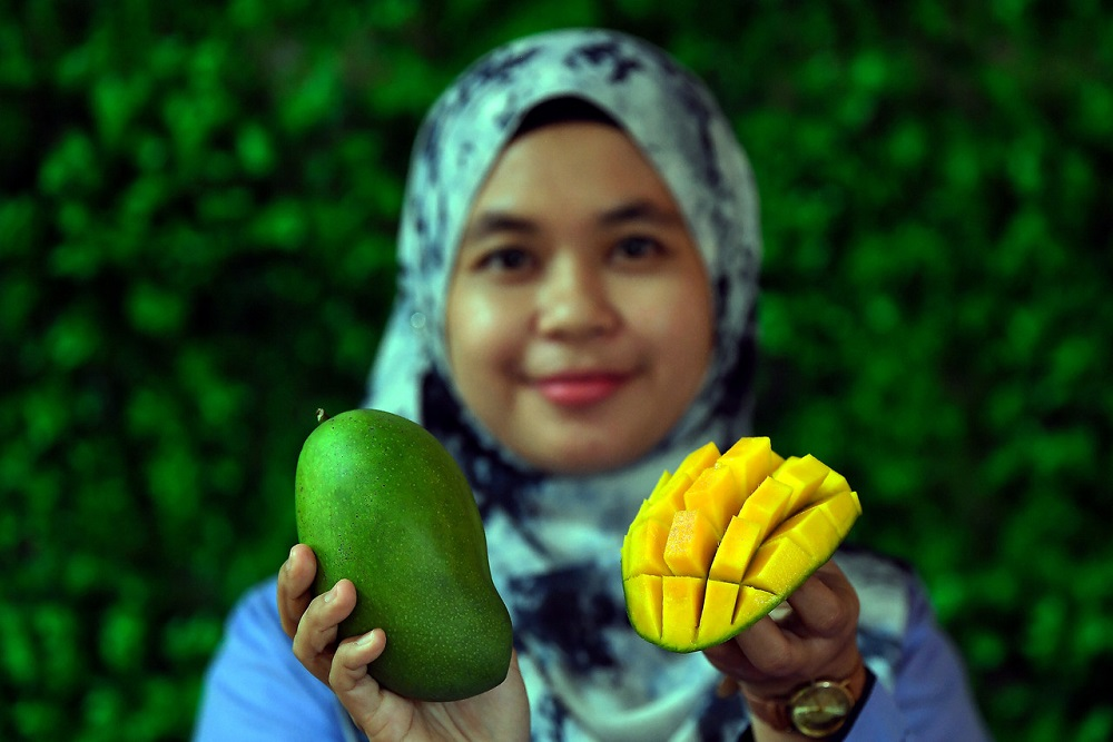Moh Roslan said it is not illegal for the Clone MA 128 mango to be grown elsewhere outside of Perlis. — Bernama pic