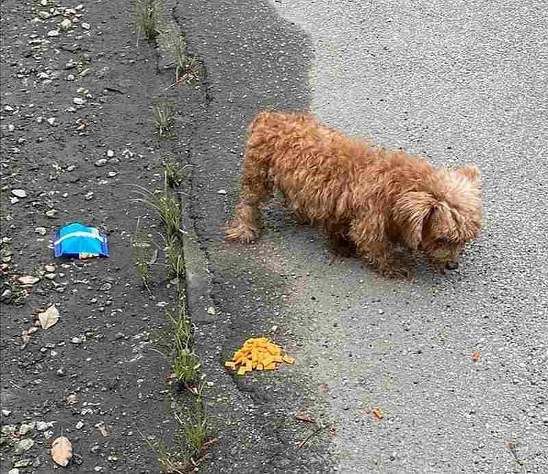 在怡保路边发现遭遗弃的贵宾狗,宋伟钊指出这只狗在送到兽医诊所抢救无效死亡。 -宋伟钊提供-