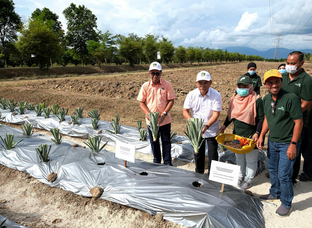 Agriculture and Food Industry Minister Datuk Seri Ronald Kiandee (2nd left) planting a MD2 pineapple variety in conjunction with his working visit to agro-tourism project at the Perak Agrotourism Resort Sungai Galah June 22, 2020. — Bernama pic