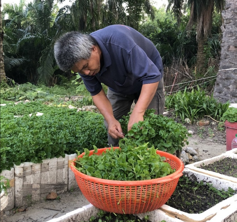 Yusof tending to his Brazilian spinach in front of his home in Chemor. — Photo via Twitter/ @ShazrielYusoff