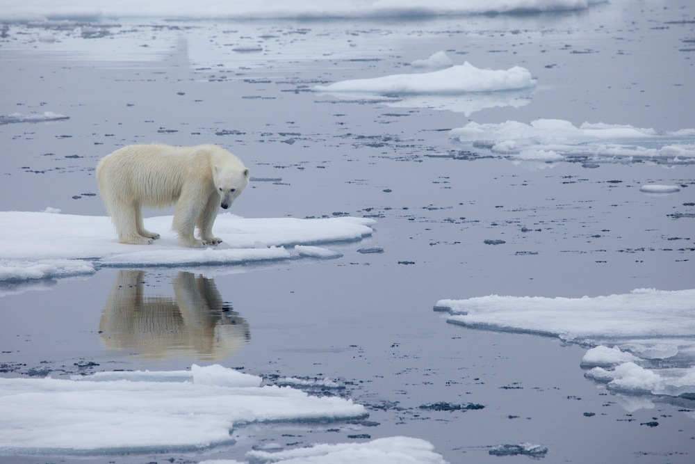 A handout photo made available on July 17, 2020 by Polar Bears International shows a polar bear standing on melting sea ice in Svalbard, Norway, in 2013. — AFP pic