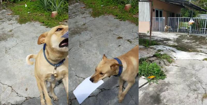 Dutiful doggo ― the pooch insists on retrieving the mail. ― Screenshot via Facebook/ Munir Mohd