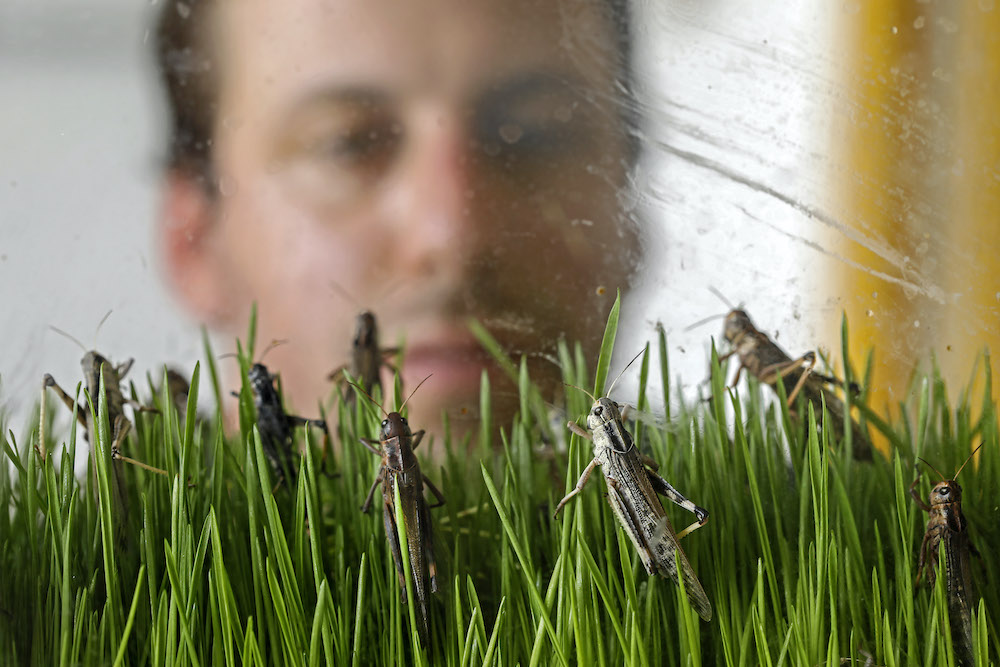 A worker at the Hargol grasshoppers breeding farm watches grasshoppers at the farm in the Kidmat Tzvi settlement in the Israeli-annexed Golan Heights on July 12, 2020. — AFP pic