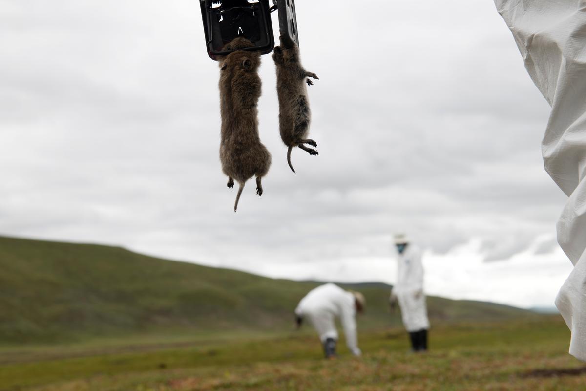 鼠疫虽已被控制,惟至今仍未完全扑灭,全球每年共1000到2000人死于鼠疫,但实际数字恐更高。-路透社-