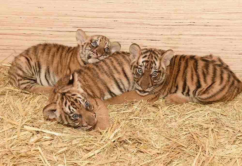 Taiping Zoo and Night Safari's newborn cubs has been named Puntum, Teja and Bayu. — Picture courtesy of TZNS