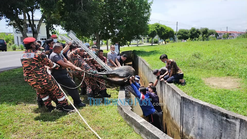The cow was successfully removed from the drain after it was slaughtered. — Picture by Borneo Post