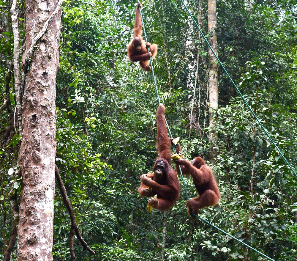 Some of the semi-wild orangutans at the Semenggoh Wildlife Centre, August 19, 2020. ― Picture courtesy of the State Information Department