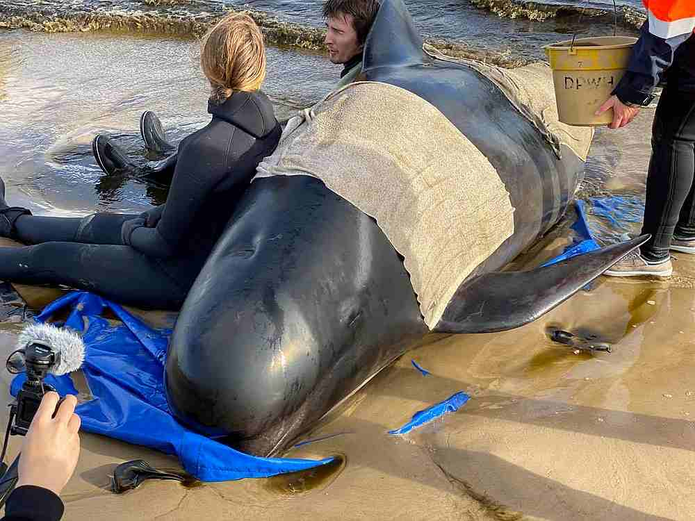 Nearly 500 pilot whales stranded on Australian island state